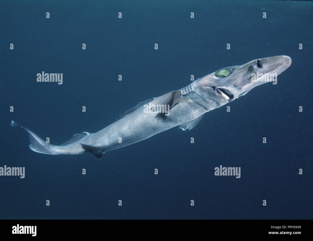 Brier Shark (Deania calcea) - Stock Image