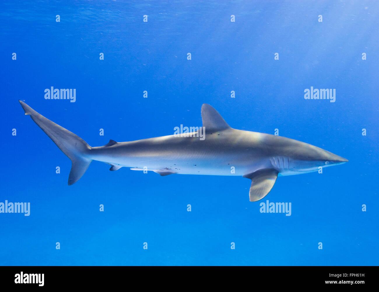 Silky Shark (Carcharhinus falciformis) - Stock Image
