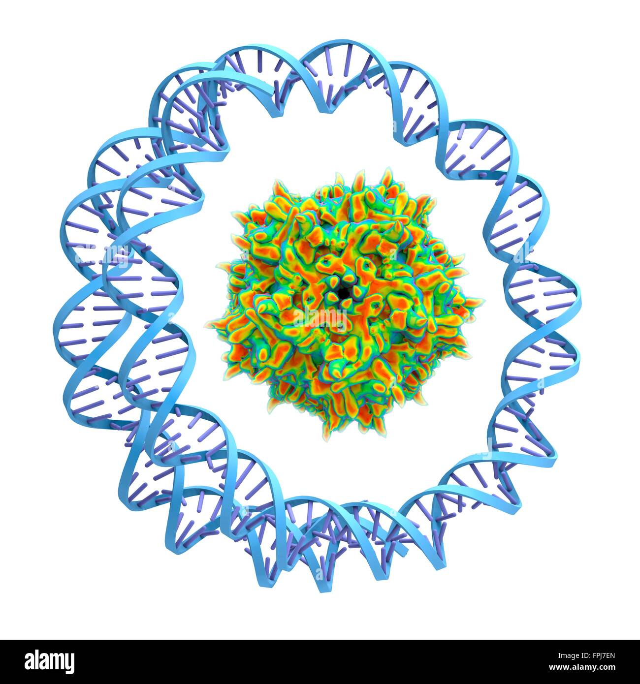 Adeno-associated virus wrapped around by a circular DNA str . Computer artwork. Adeno-associated viruses (AAVs) - Stock Image