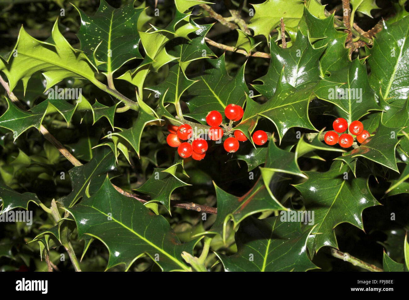 Holly Leaves Green Spiky With Red Berries In Landscape Format