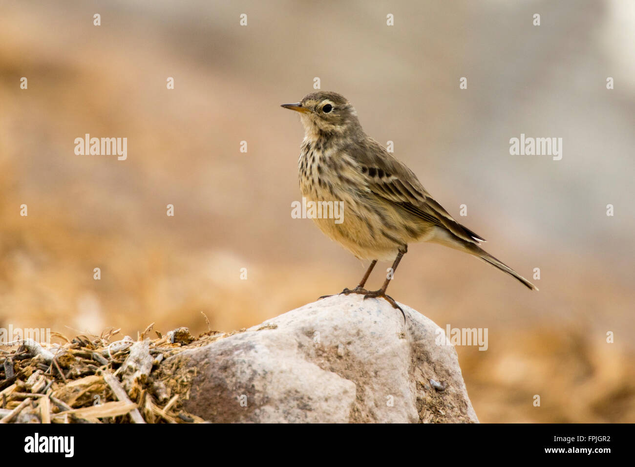 American Pipit  Anthus rubescens  Henderson, Nevada, United States 4 December     Adult nonbreeding plumage.    - Stock Image