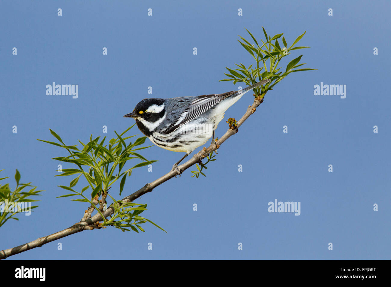 Black-throated Gray Warbler  Dendroica nigrescens Tucson, Pima County, Arizona, United States 4 March  Adult Male - Stock Image