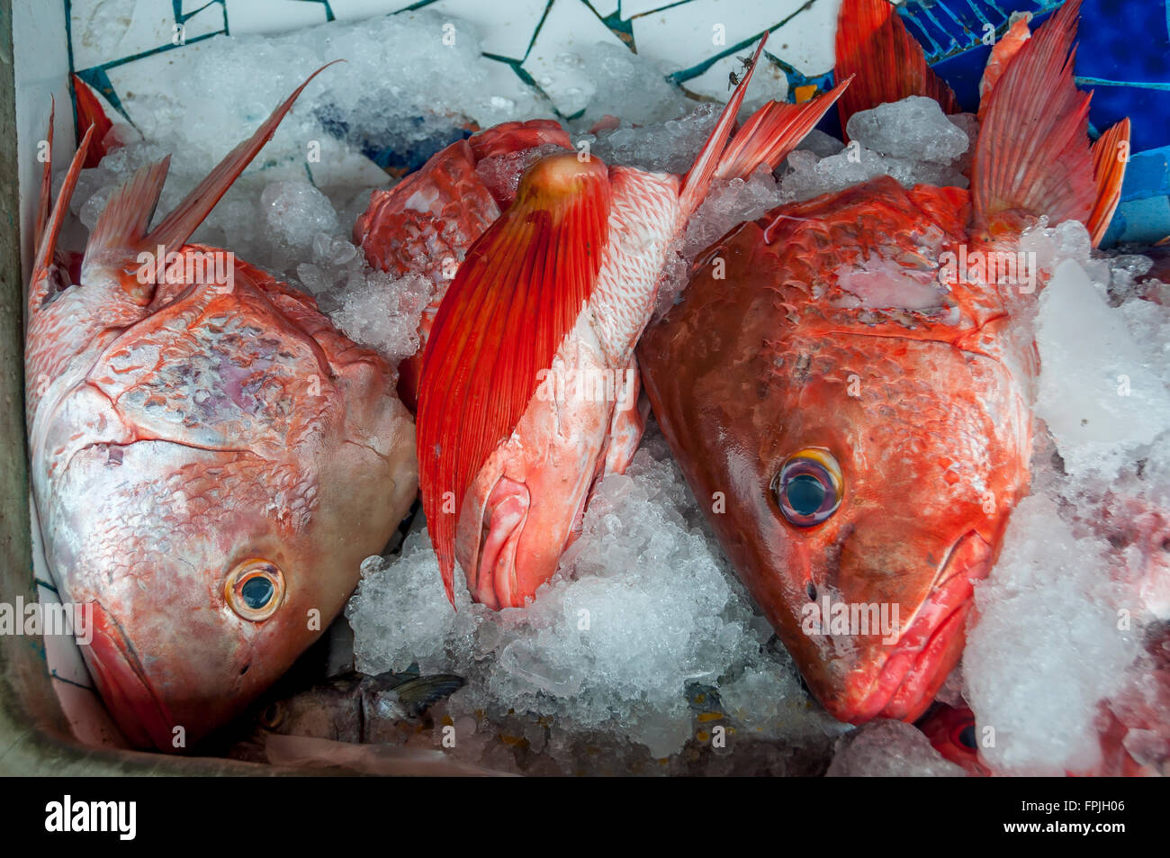 Brightly colored red snapper fish heads on ice; red snapper for sale ...