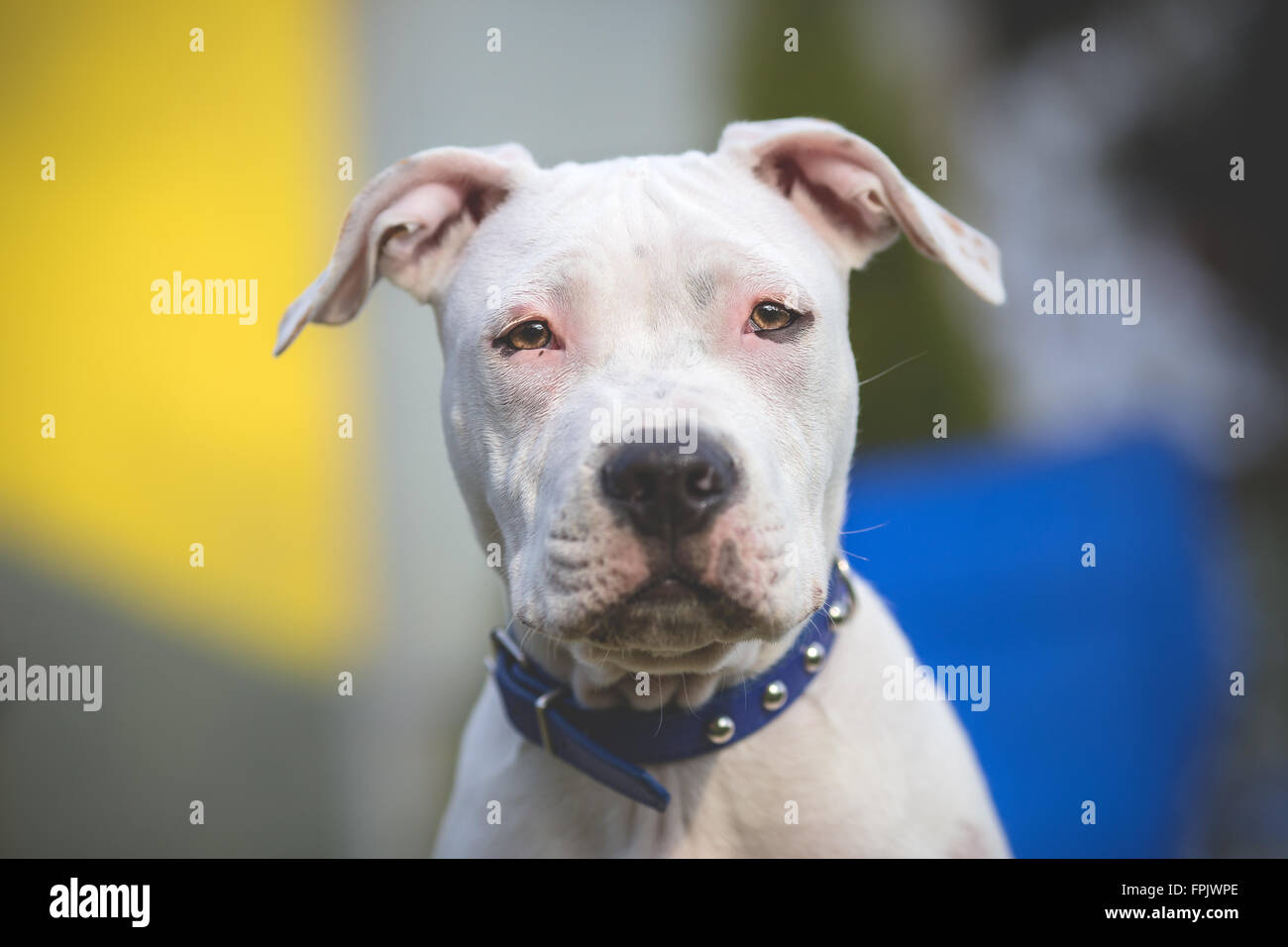 American Staffordshire Terrier young dog portrait - Stock Image