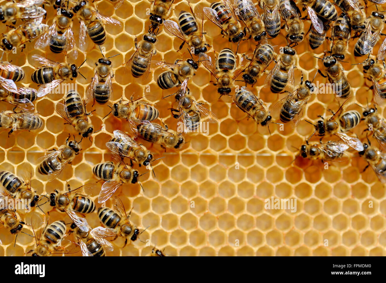 Close up view of the working bees on honey cells - Stock Image