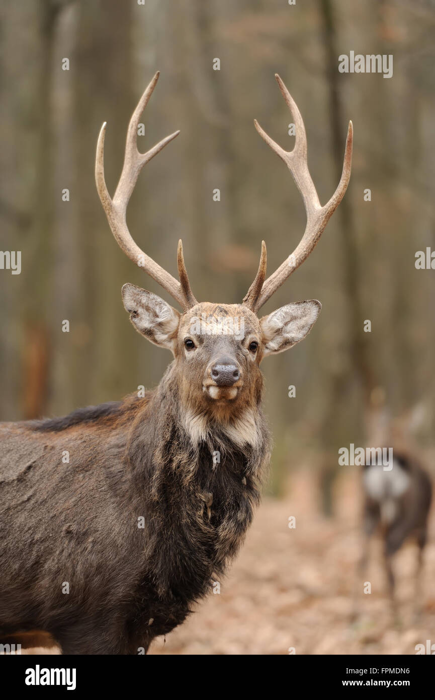 Beautiful Red Deer in forest - Stock Image