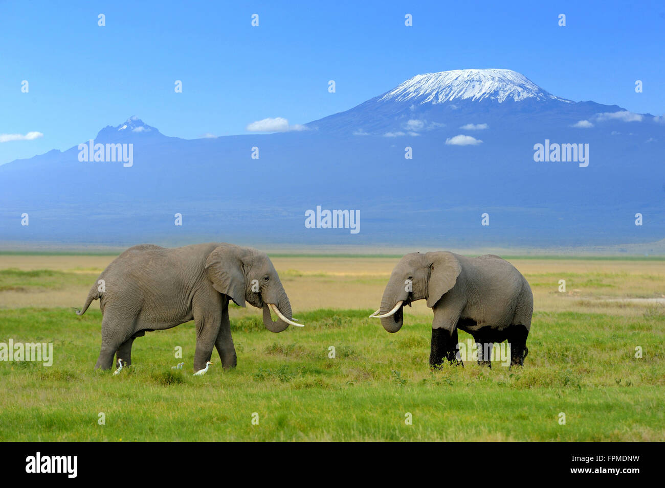 Elephant on the background of Mount Kilimanjaro in the national reserve - Stock Image