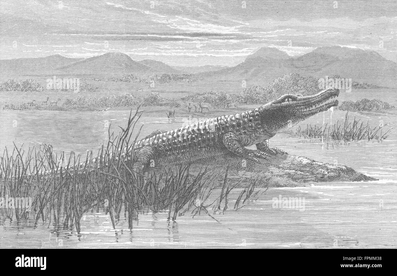 SOUTH AFRICA: African Colony: Crocodile, antique print 1880 - Stock Image