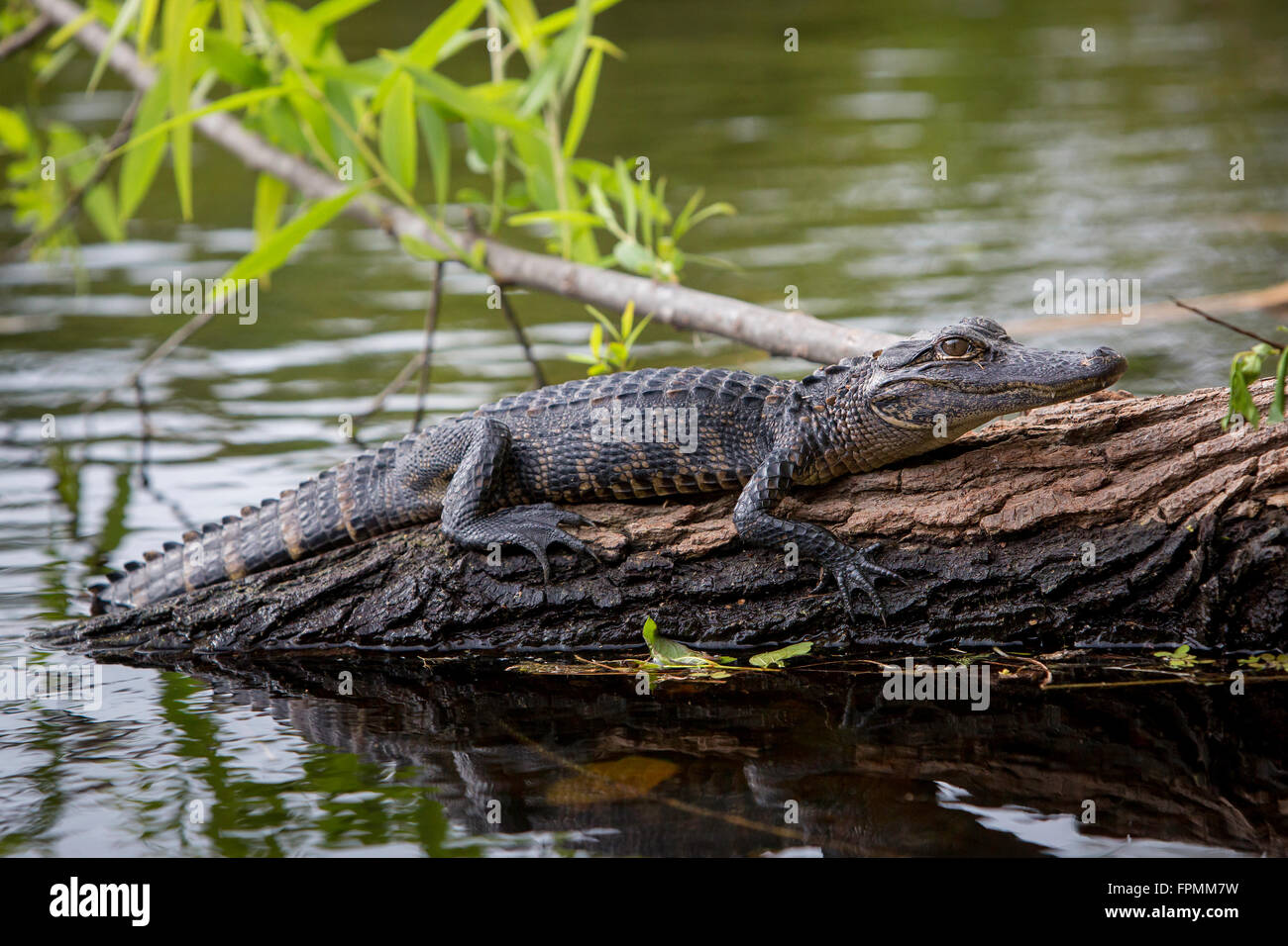 Young Alligator (Alligator Mississippiensis) resting on submerged log in Everglades National Park, Florida, USA Stock Photo