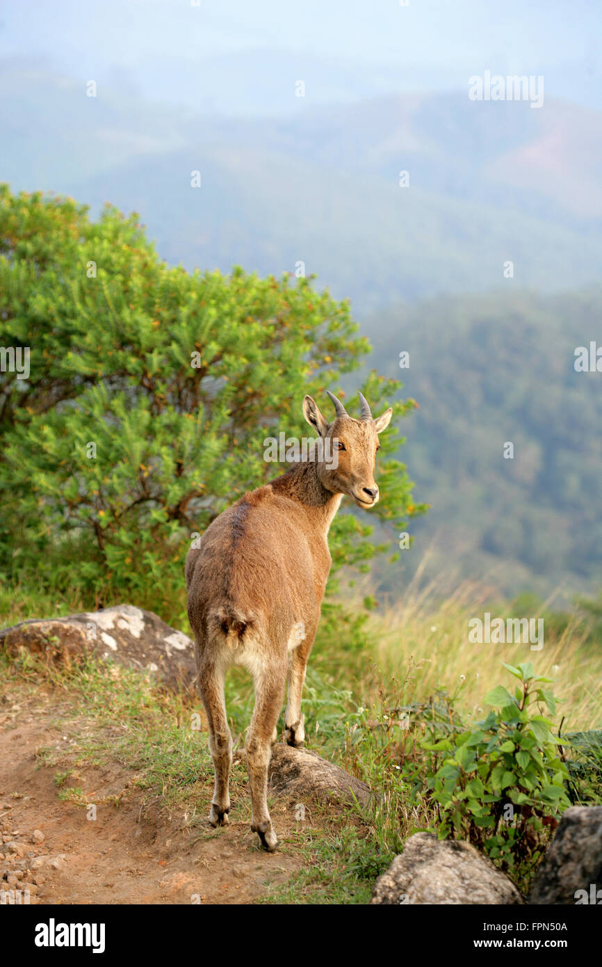 Rare Nilgiri Tahr (Hemitragus hylocrius) Mountain Goat in the Western Ghats,Southern India.Endangered species seen - Stock Image