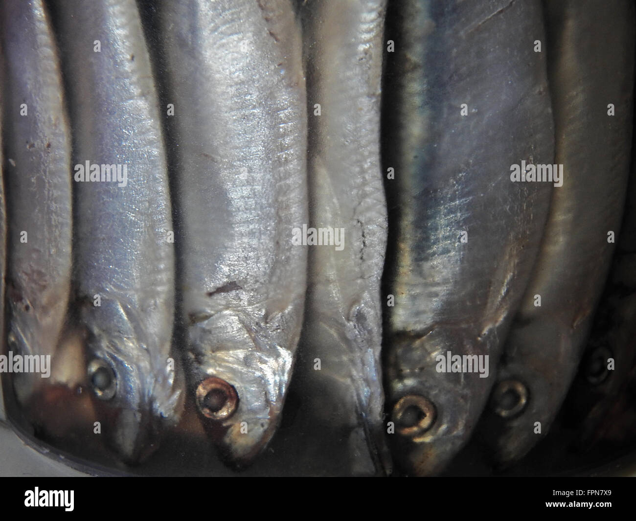 the canned sprat container, Overcrowded with fish. upside down - Stock Image