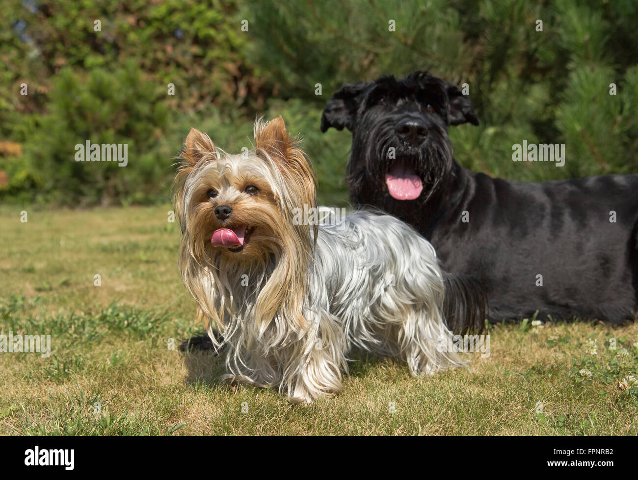 Yorkshire Terrier and Big Black Schnauzer Dod on the lawn. Both dogs have protruding tongue. - Stock Image