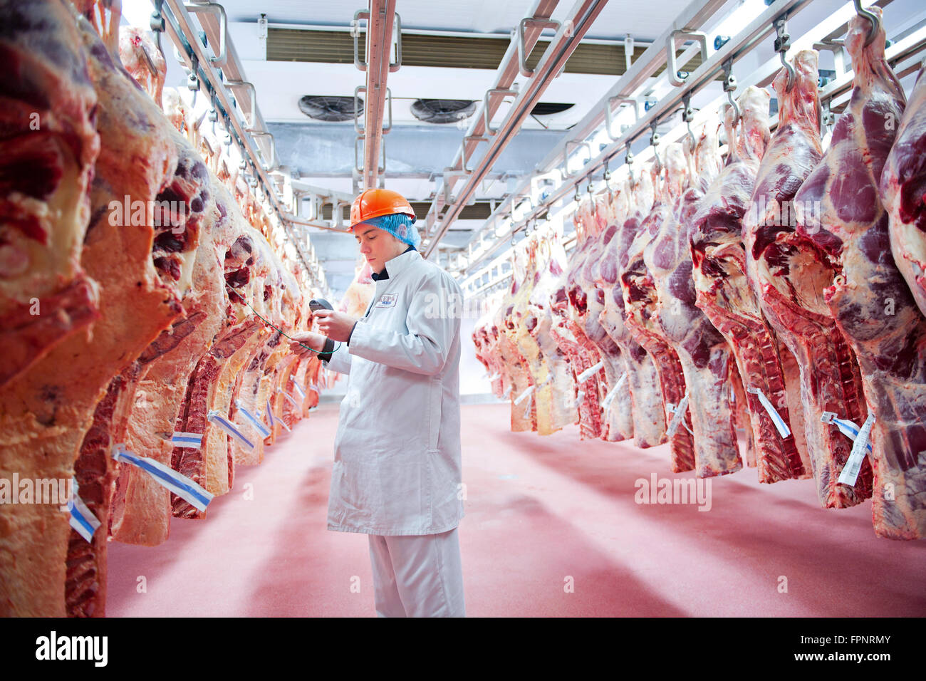 An employee checks the temperature of the carcasses of freshly slaughtered cows hanging awaiting processing in the - Stock Image