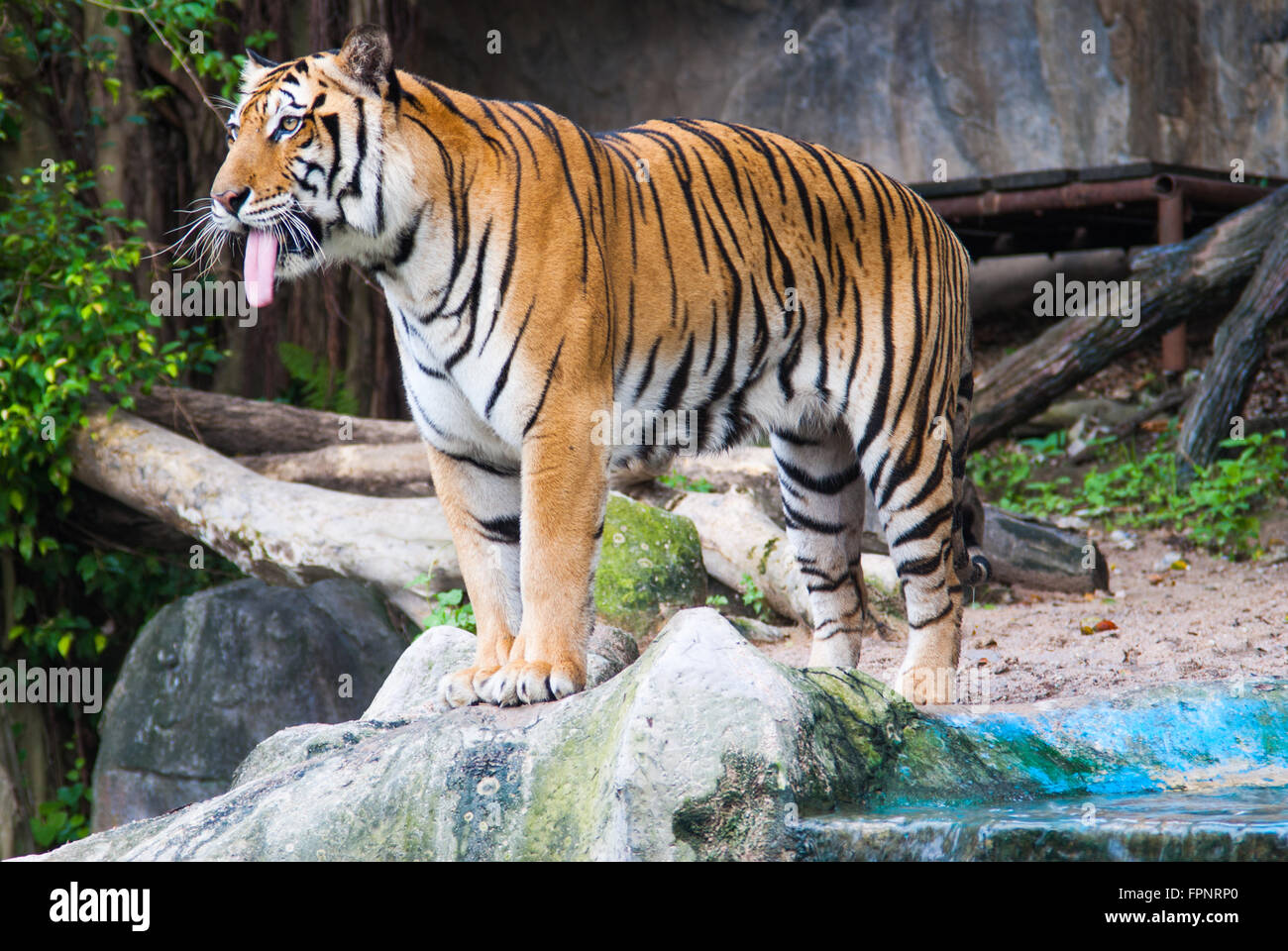 standing striped tiger with tongue in zoo - Stock Image