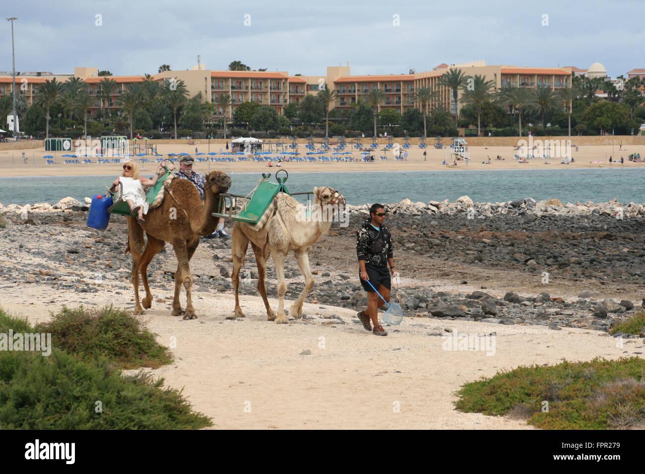 CAMEL CAMELS BEACH FUERTEVENTURA SPAIN CANARIAS - Stock Image