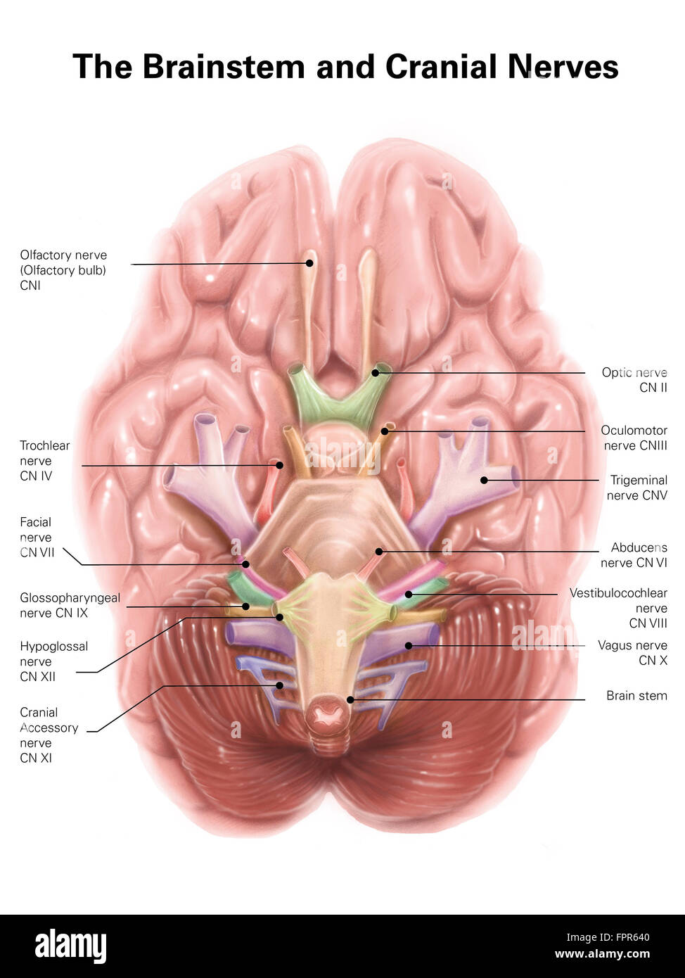 Anatomy of human brain stem and cranial nerves Stock Photo ...