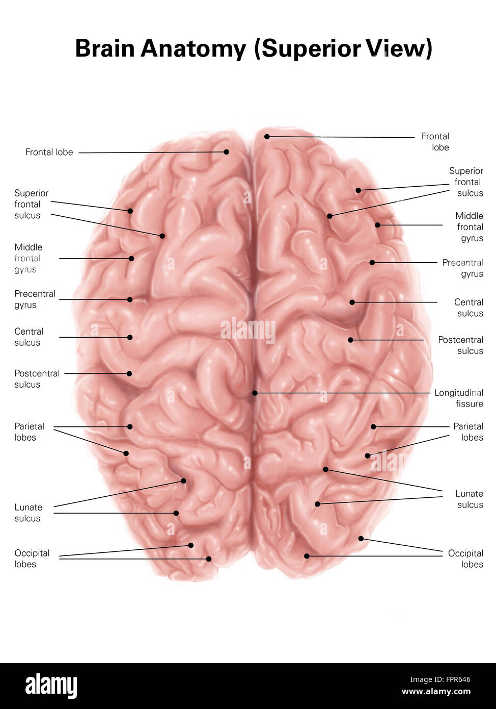Human brain anatomy, superior view Stock Photo: 100083990 - Alamy