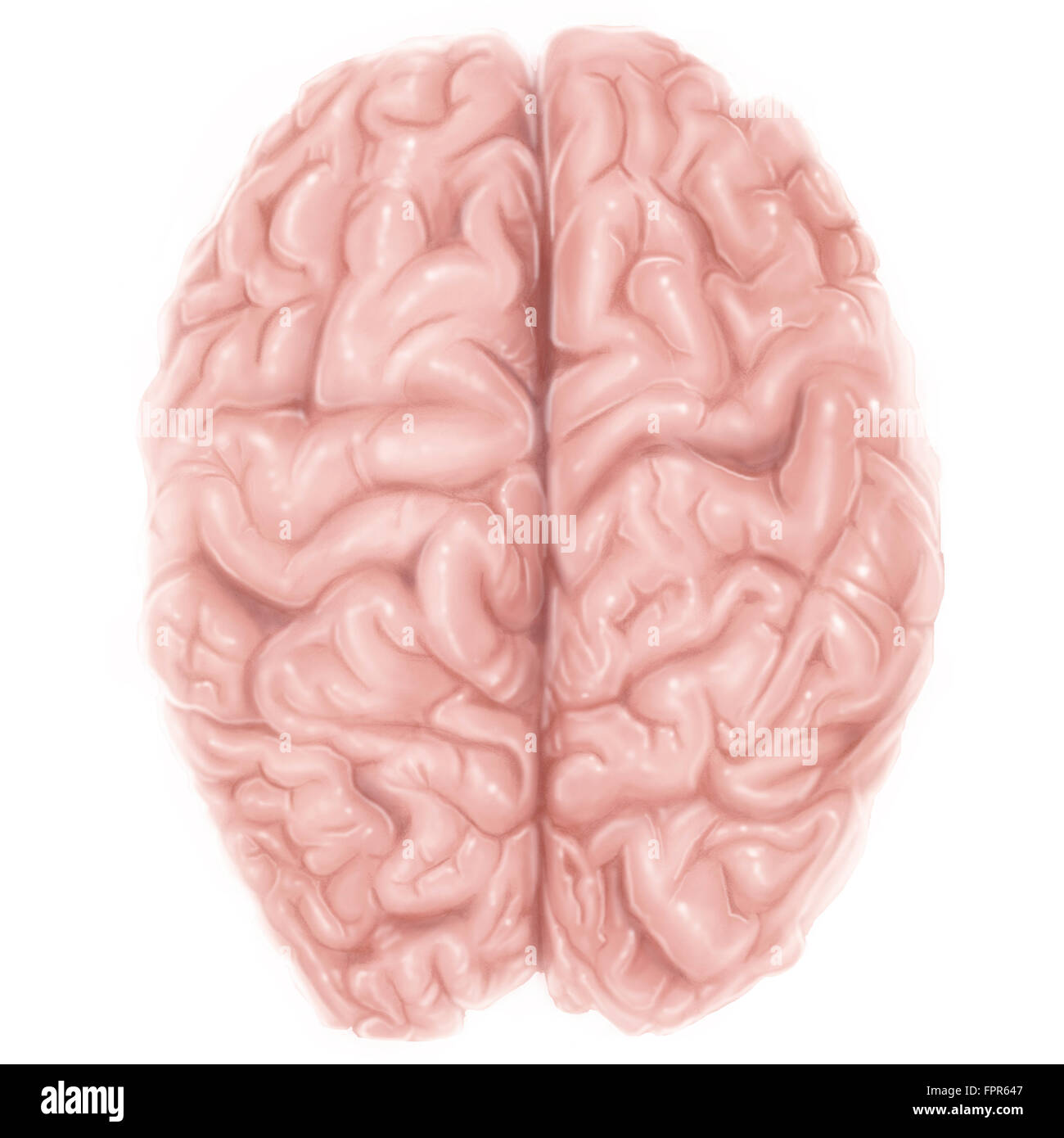 superior view of human brain stock image