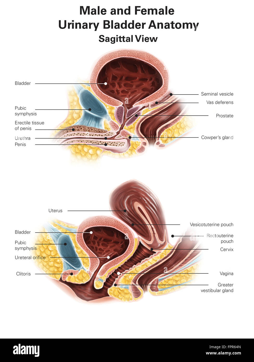 Anatomy Of Male And Female Urinary Bladder With Labels Stock Photo