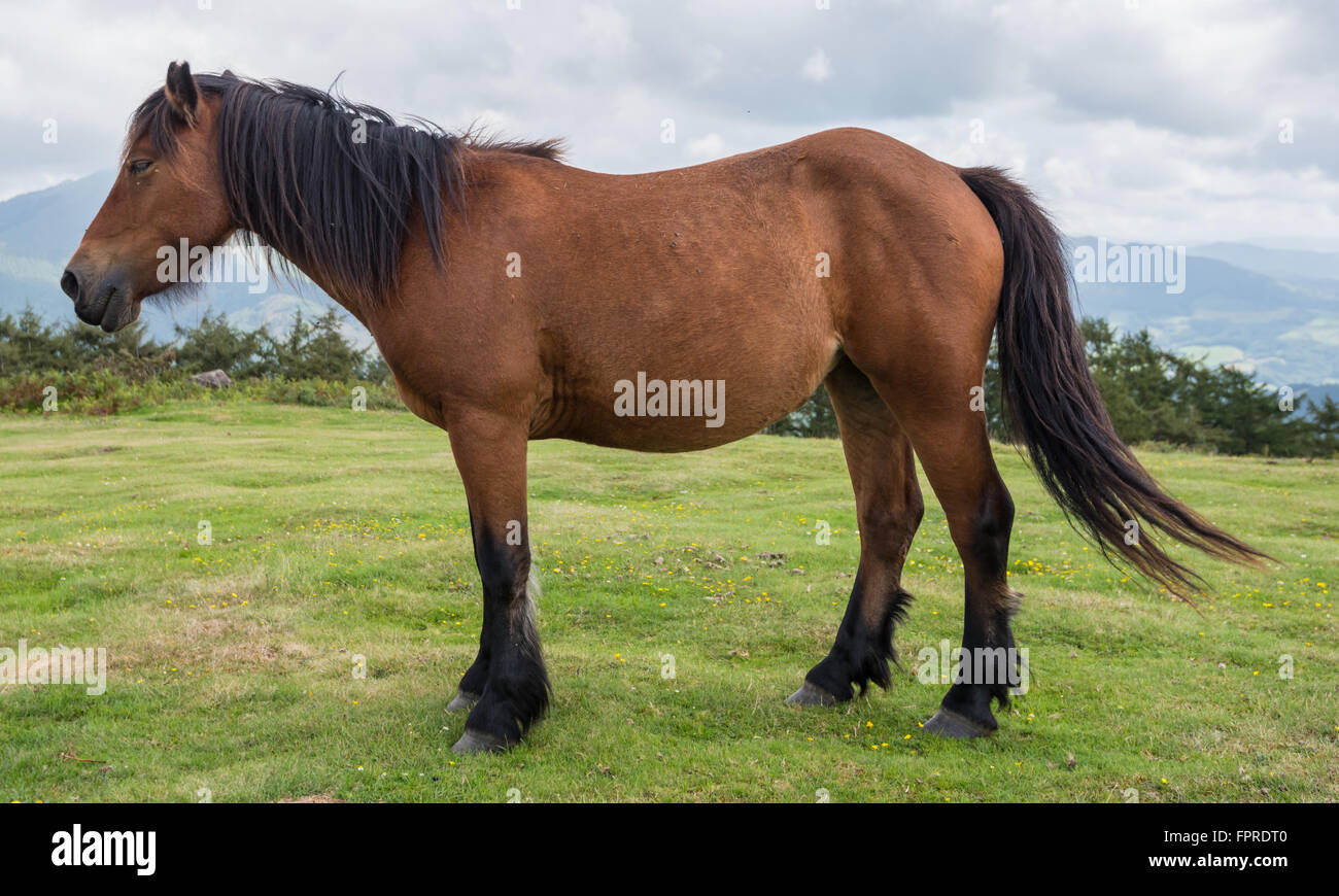 A female pottok horse walking in the mountain with a cloudy sky - Stock Image