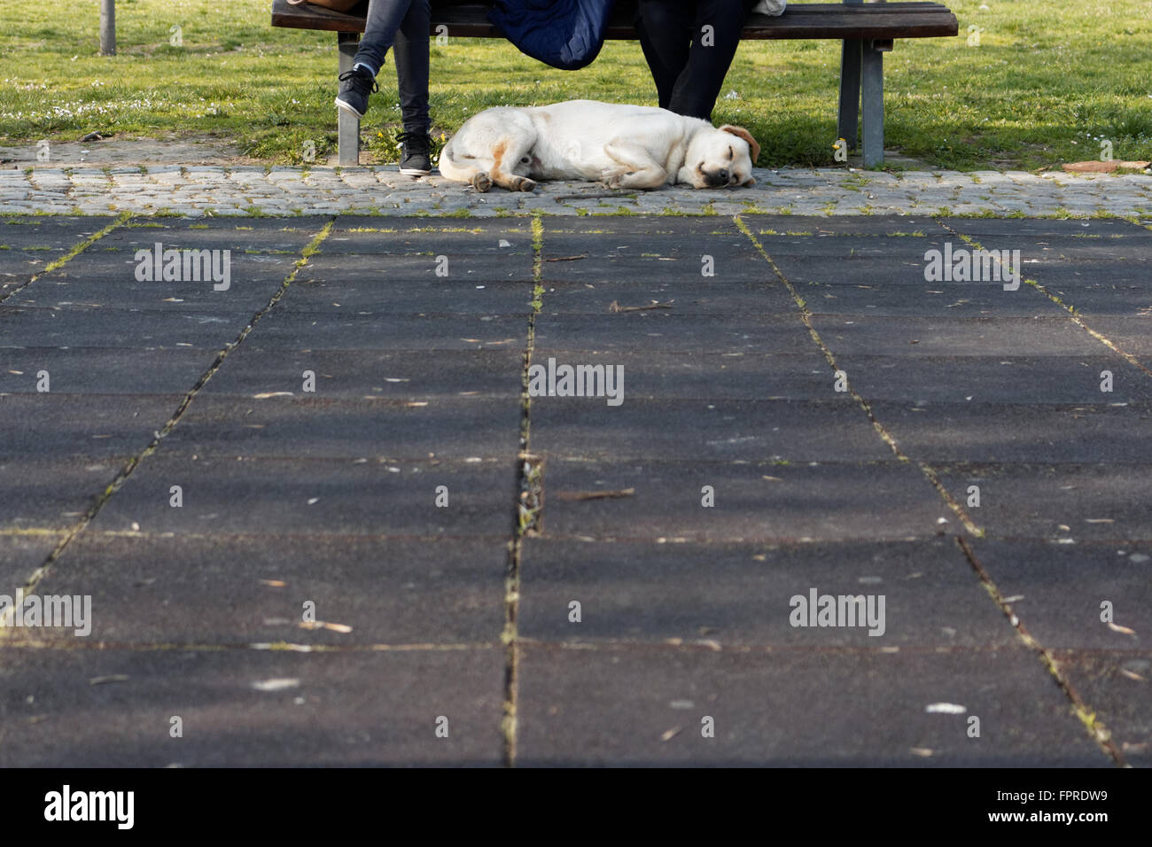 Labrador taking a nap in the park - Stock Image