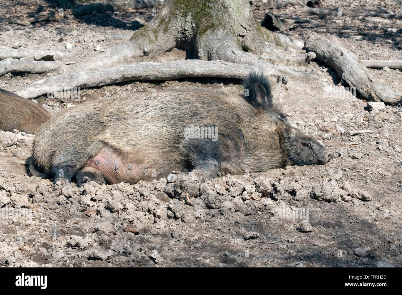 Wildschwein, Sus scrofa - Stock Image