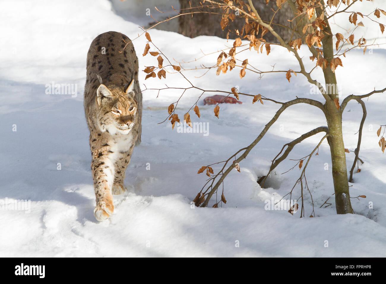 Eurasian lynx (Lynx lynx) walking in the snow, in bavarian forest Germany Stock Photo