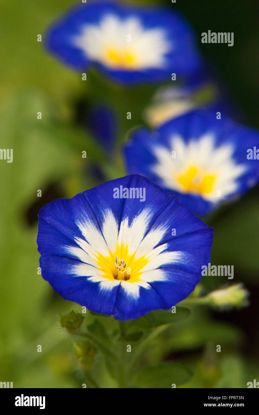 Morning glory flowers blooming in summer garden - Stock Image