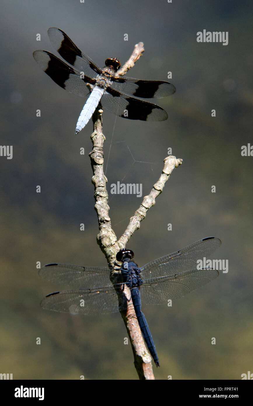 Two dragonflies on a twig over pond in summertime - Stock Image