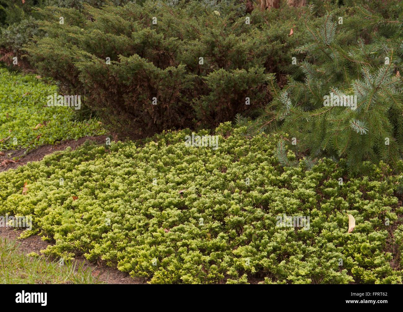 Juniper , Juniperus  horizontalis 'Mother Lode' - Stock Image