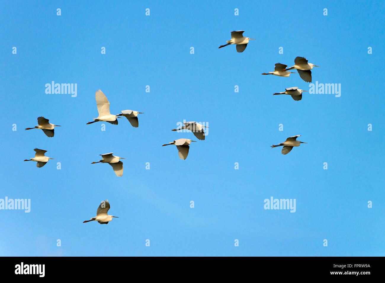 Little Egret (Egretta garzetta), flock of birds in flight, Riu Mannu, Sardinia, Italy - Stock Image