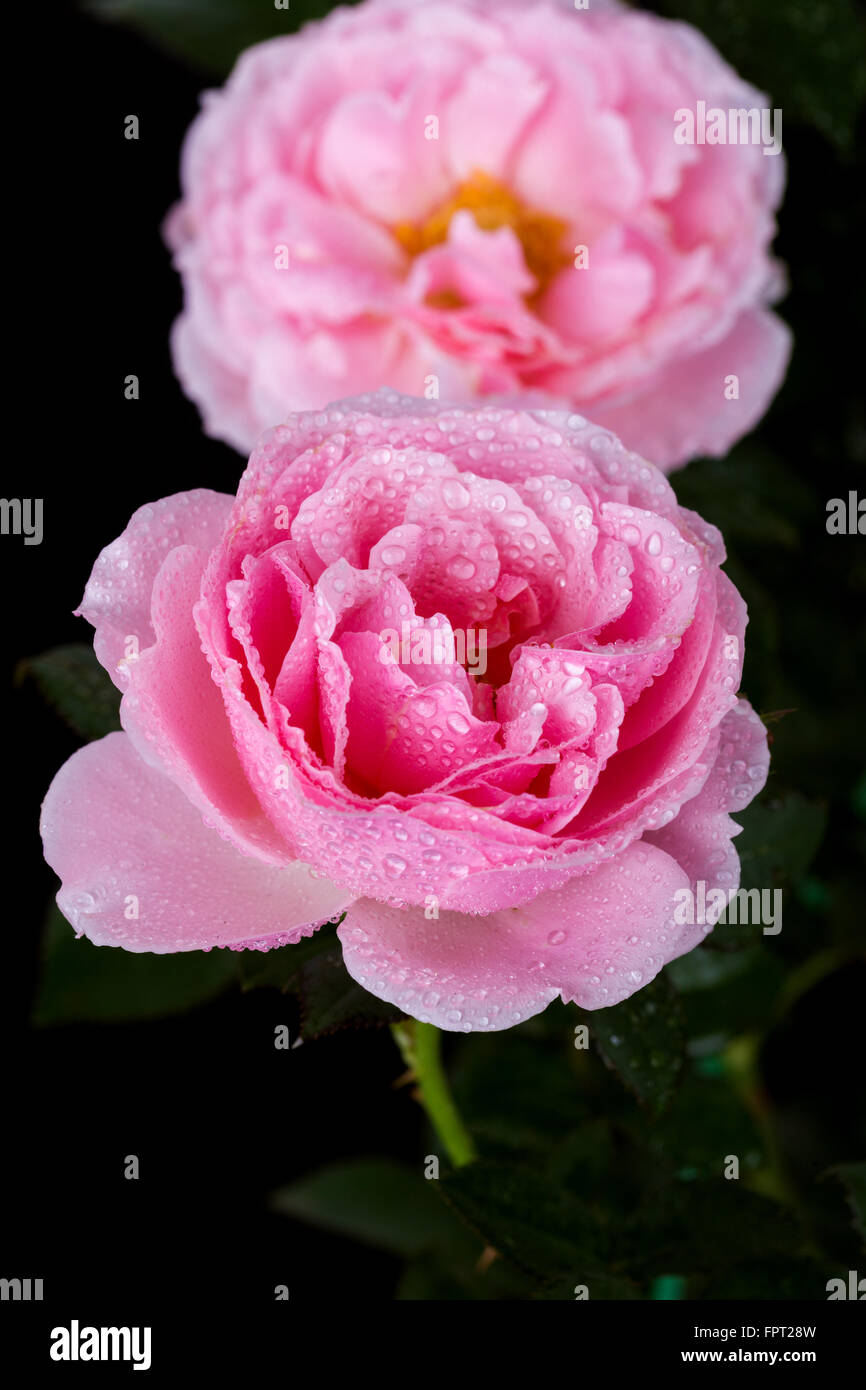 Beautiful pink rose with water drop on black background stock photo beautiful pink rose with water drop on black background izmirmasajfo