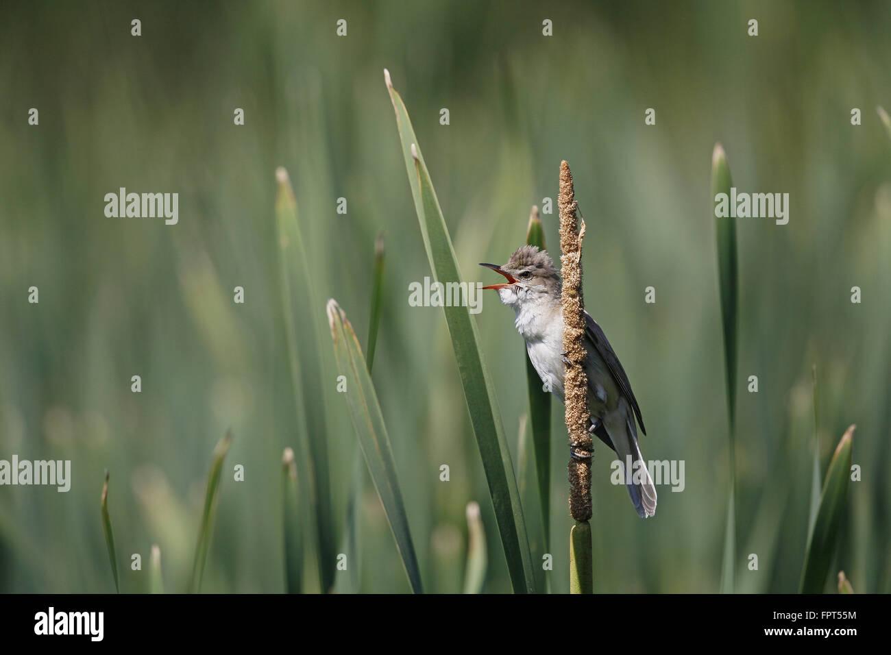 Great Reed Warbler, Acrocephalus arundinaceus, singing from reed bed Stock Photo