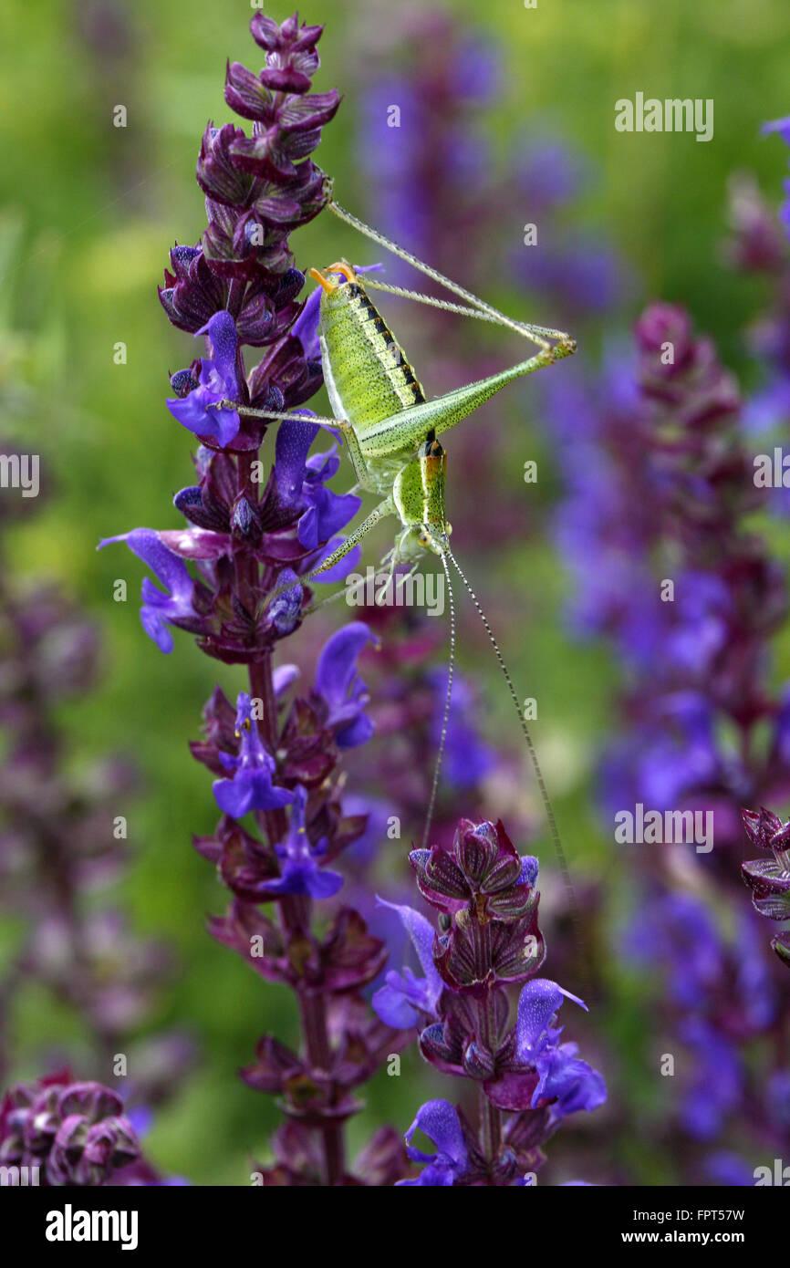Macedonian Bush-cricket, Poecilimon macedonicus - Stock Image