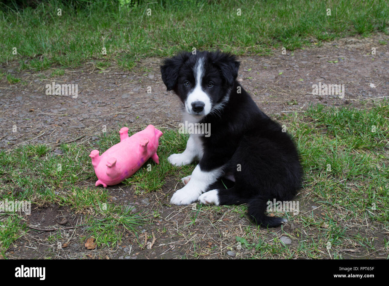 Border Collie puppy with toy pig - Stock Image