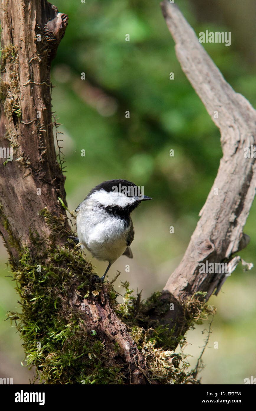 Chickadee bird on perch in spring forest habitat. - Stock Image