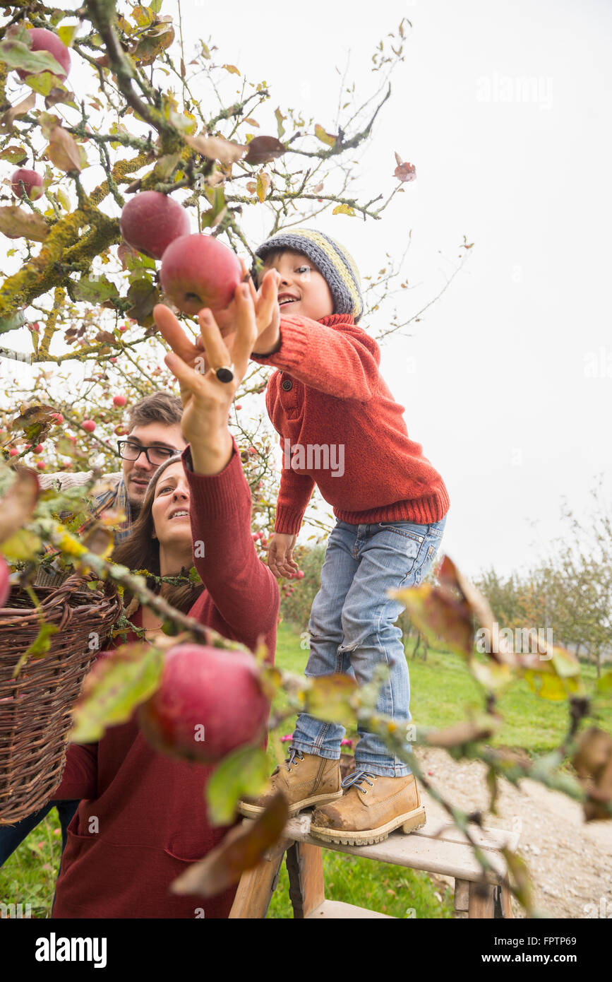 Family picking apples in an apple orchard, Bavaria, Germany - Stock Image