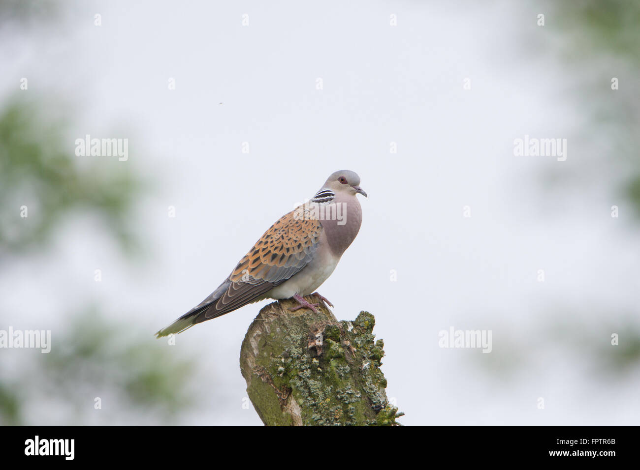 Turtle dove (Streptopelia turtur) at RSPB Otmoor in Oxfordshire, England, UK. - Stock Image