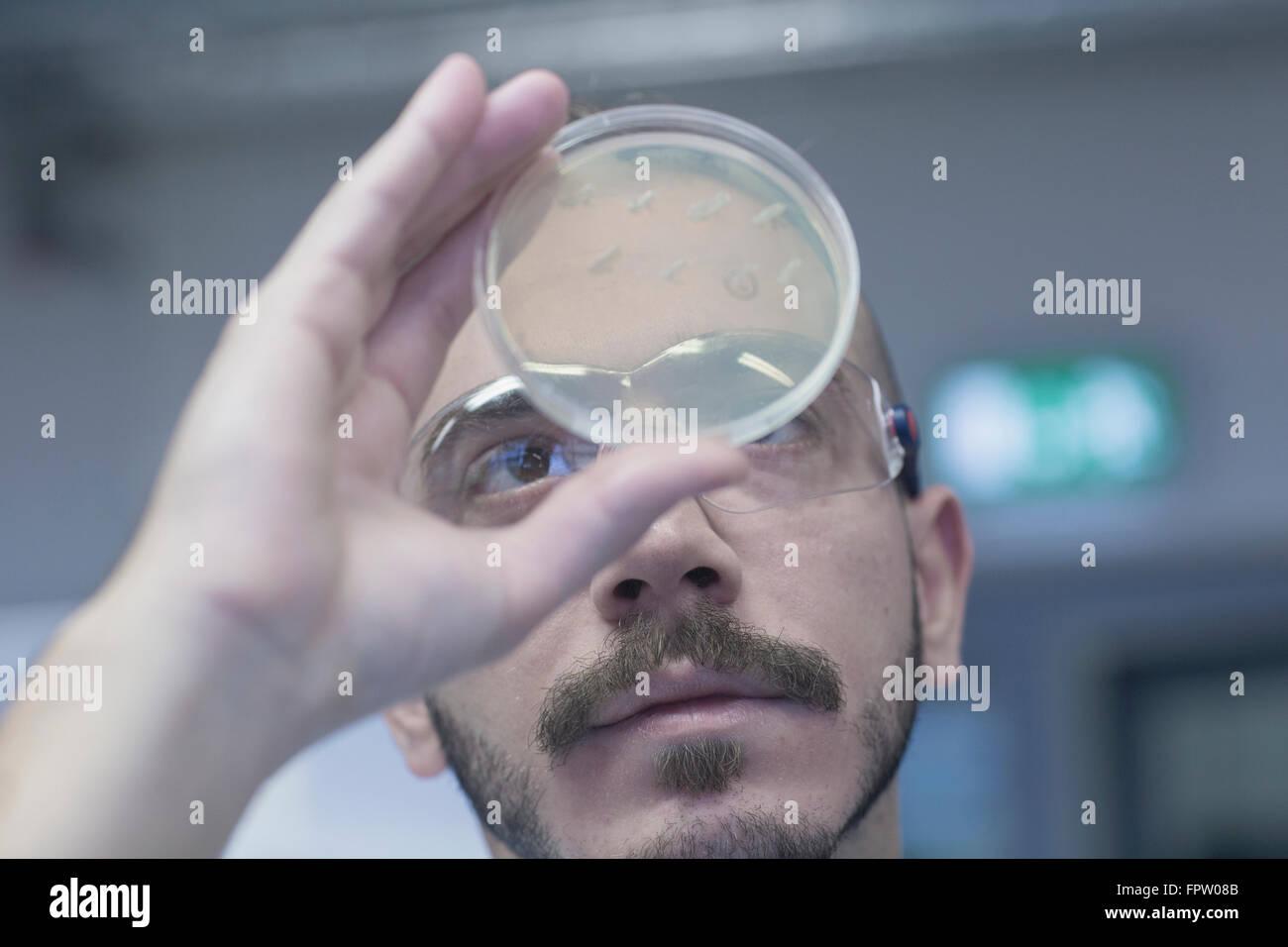 Scientist examining micro organisms in petri dish in a pharmacy laboratory, Freiburg Im Breisgau, Baden-Württemberg, - Stock Image