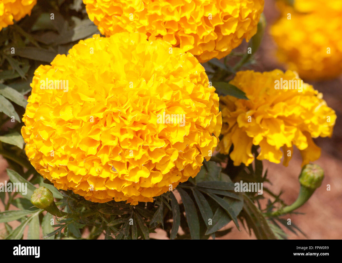 Marigold Yellow Color In Many Flowers Plant Stock Photo 100123725