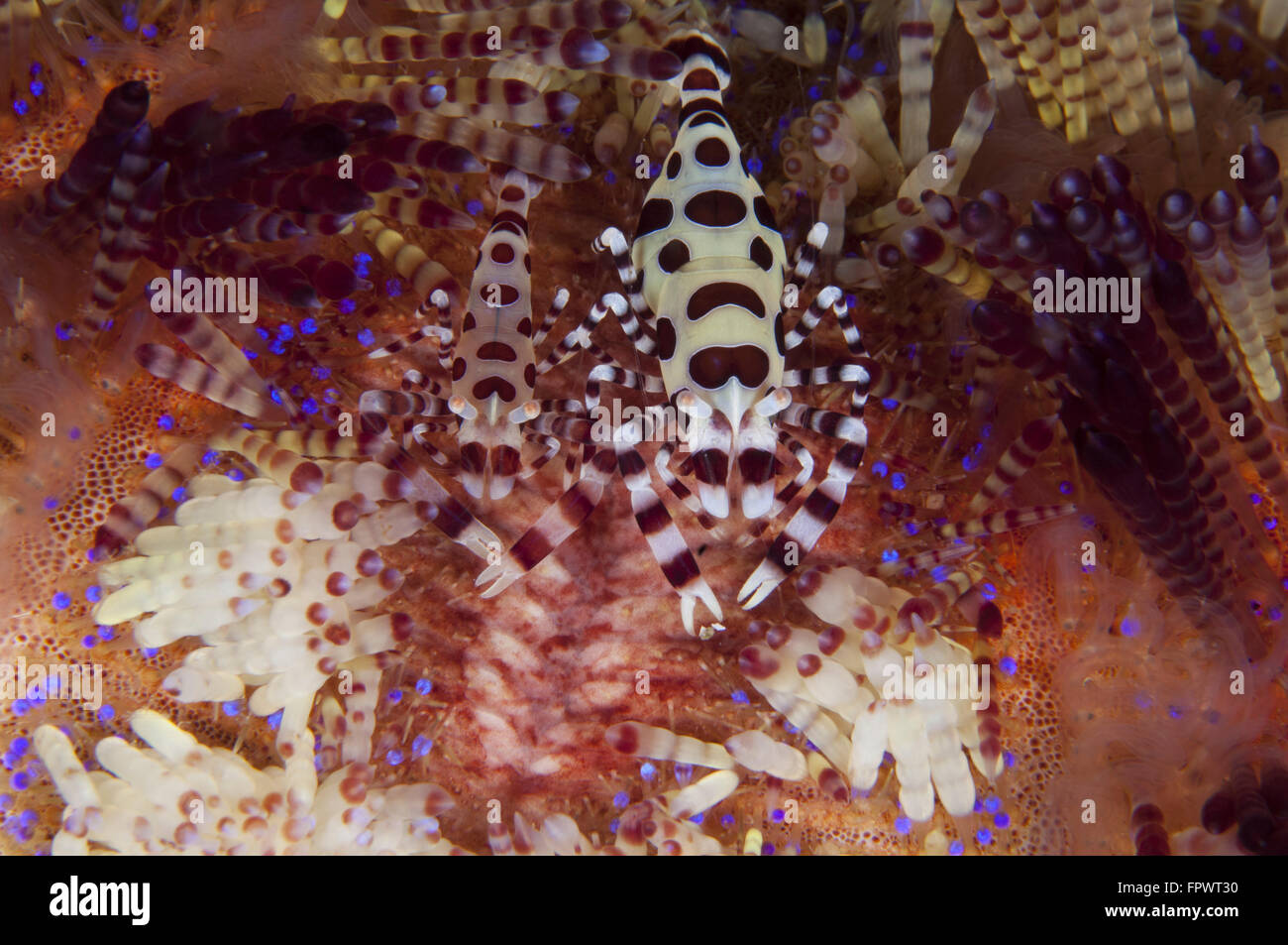 A pair of colorful Coleman Shrimp (Periclimenes colemani), Komodo National Park, Indonesia. - Stock Image