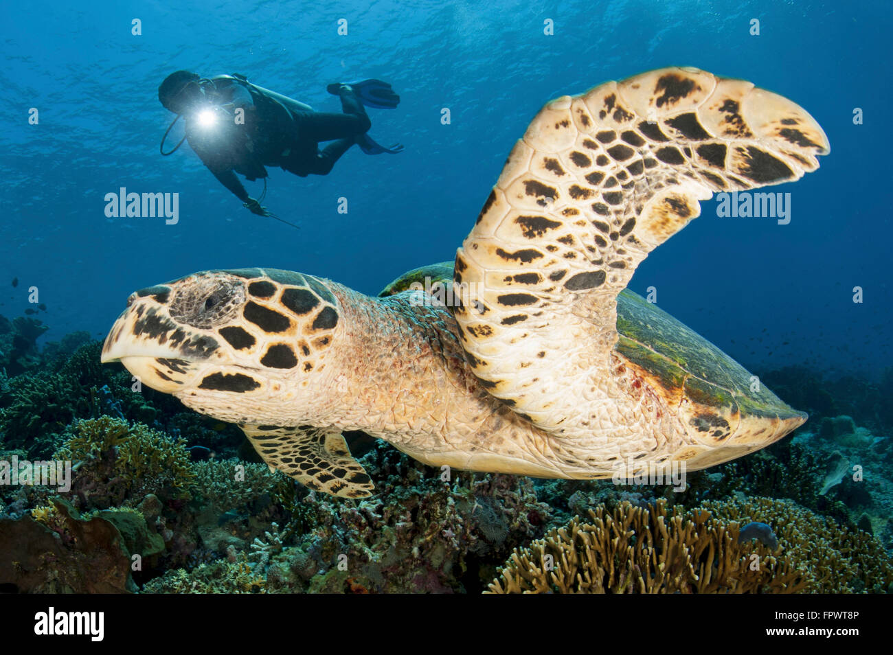 A diver swims over a Komodo reef with a hawksbill sea turtle off of Indonesia. - Stock Image