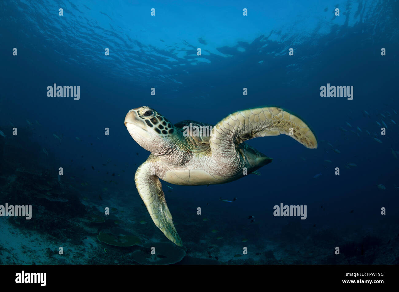 A green turtle (Chelonia mydas) swimming in Komodo National Park, Indonesia. Stock Photo