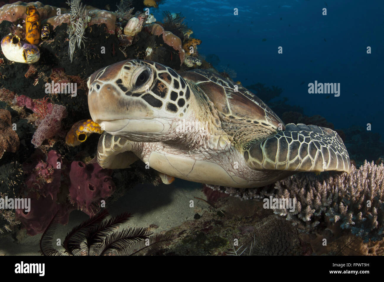 Close-up view of a green turtle (Chelonia mydas) resting on a reef top in Komodo National Park, Indonesia. Stock Photo