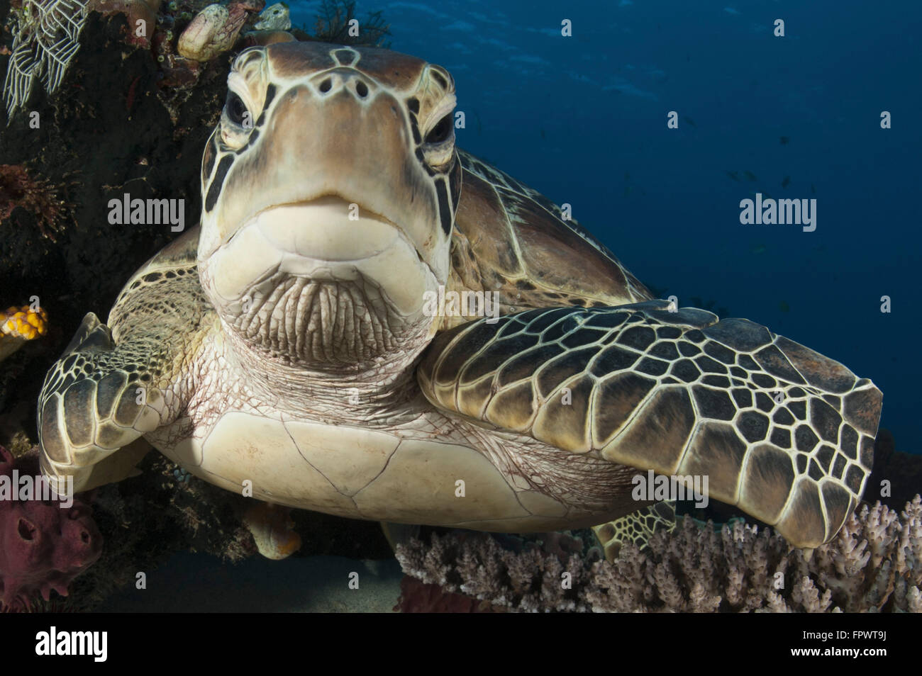 Close-up view of a green turtle (Chelonia mydas) resting on a reef top in Komodo National Park, Indonesia. - Stock Image