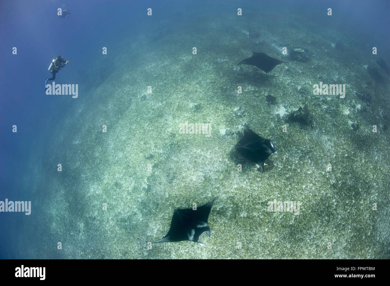 A trio of reef manta rays (Manta alfredi) swimming above a reef top, Komodo National Park, Indonesia. Stock Photo