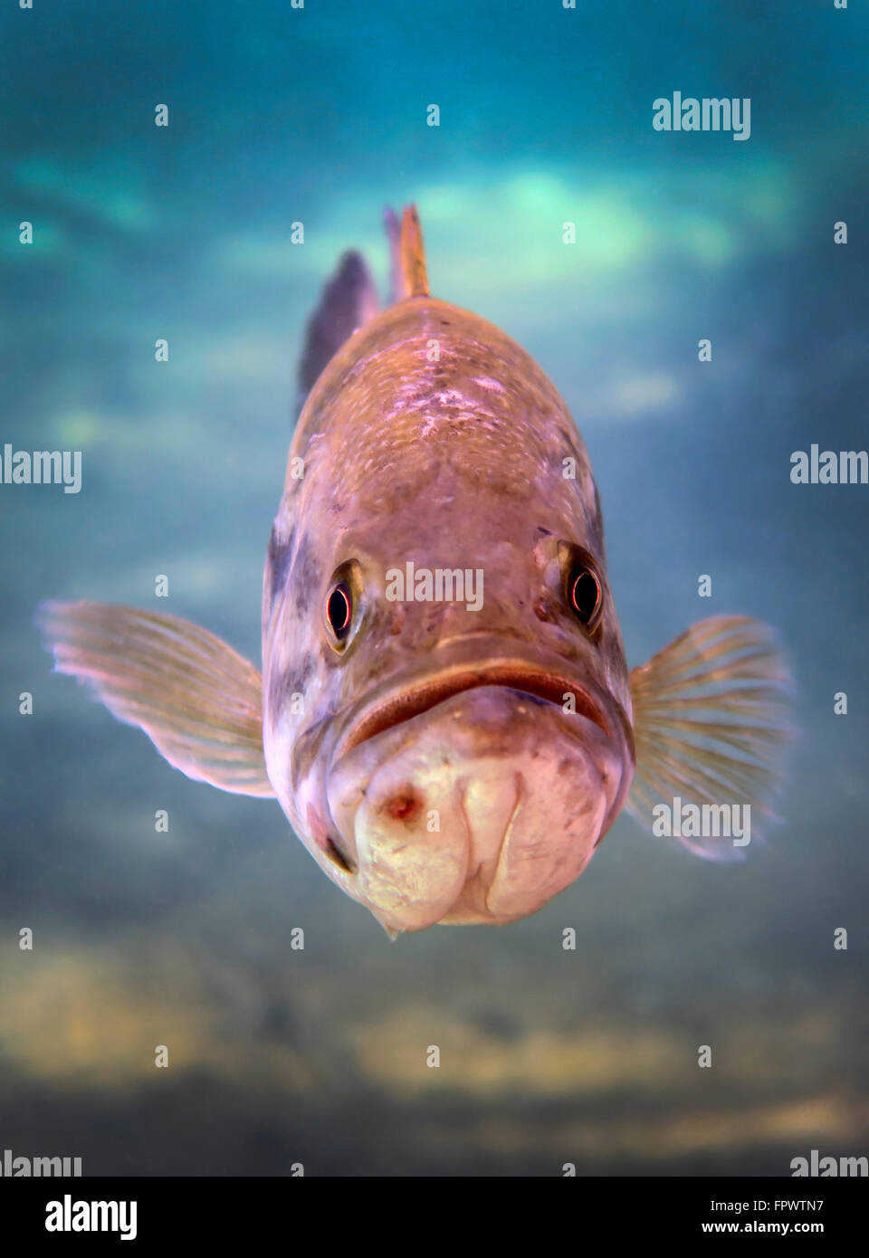 A largemouth bass faces off with the underwater photographer in Ponce de Leon Springs, Florida. - Stock Image