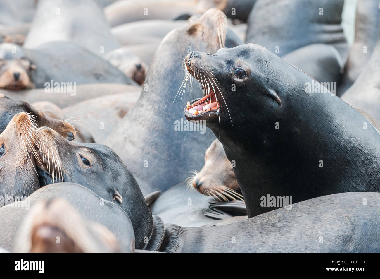A male California Sea Lion (Zalophus californianus) howls while surrounded by many other individuals. Rainier, Oregon, - Stock Image