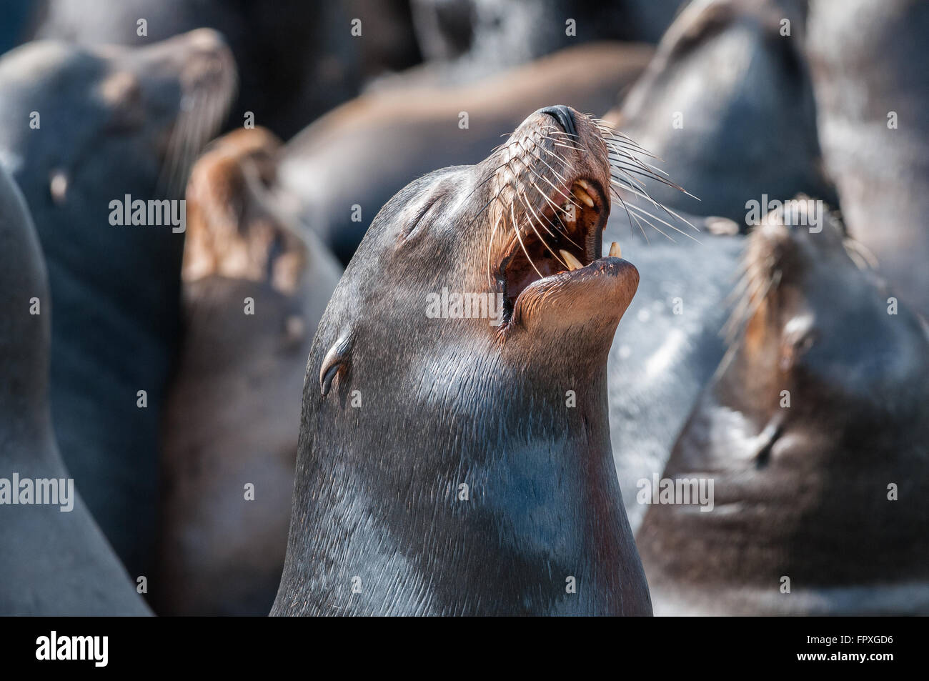 A female California Sea Lion (Zalophus californianus) howls while surrounded by many other individuals. Rainier, - Stock Image