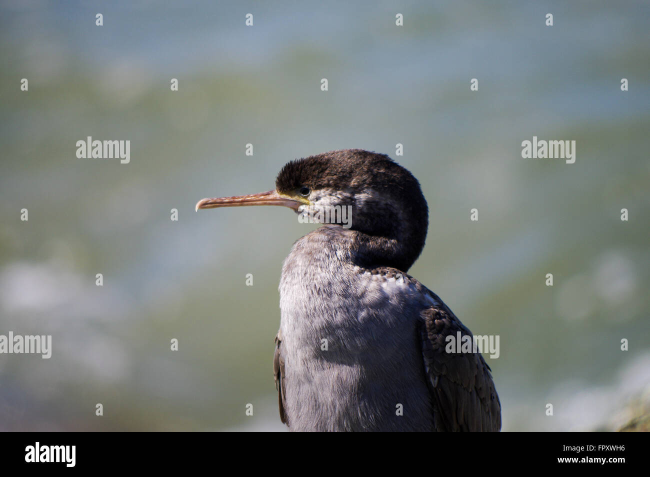 Juvenile spotted shag in Howells Point Recreational Reserve - Riverton, New Zealand - Stock Image